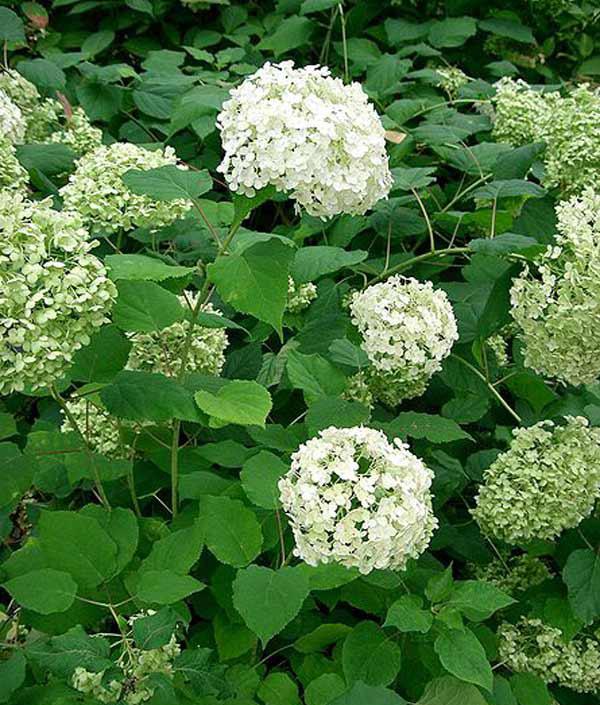 Почему гортензия цветет зелеными цветами