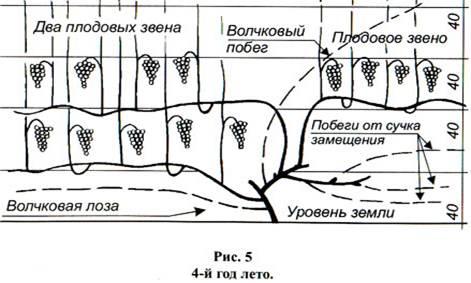 Вторая схема формировки куста винограда для среднерослых и высокоурожайных сортов винограда.